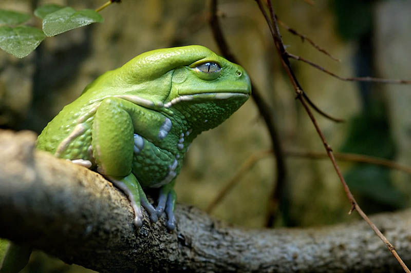 wise looking skeptical waxy monkey leaf frog wisdom of ancients Picture of the Day: The Wisdom of the Ancients