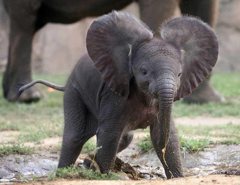 adorable baby elephant 10 The 35 Cutest Baby Elephants You Will See Today