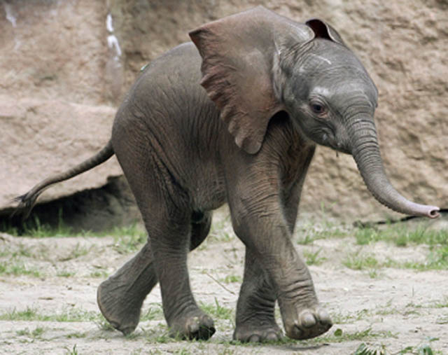adorable baby elephant 11 The 35 Cutest Baby Elephants You Will See Today