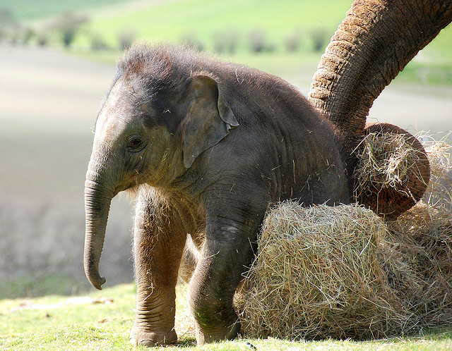 adorable baby elephant 7 The 35 Cutest Baby Elephants You Will See Today