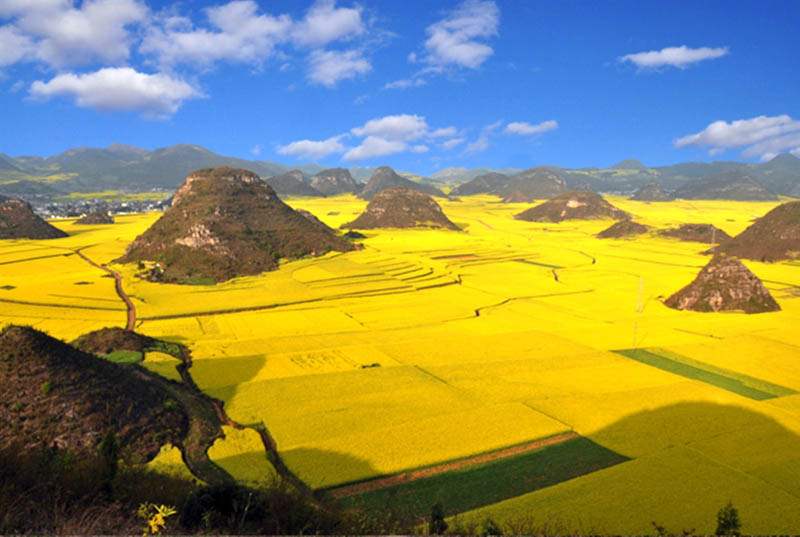 picture of the day canola fields in full bloom twistedsifter