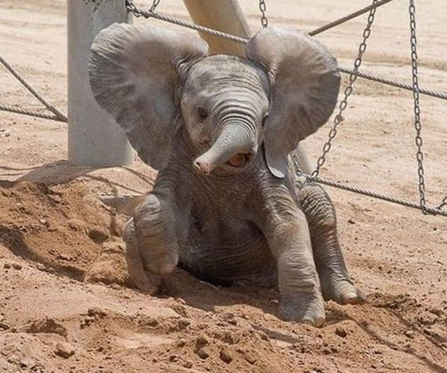 cute baby elephant 10 The 35 Cutest Baby Elephants You Will See Today