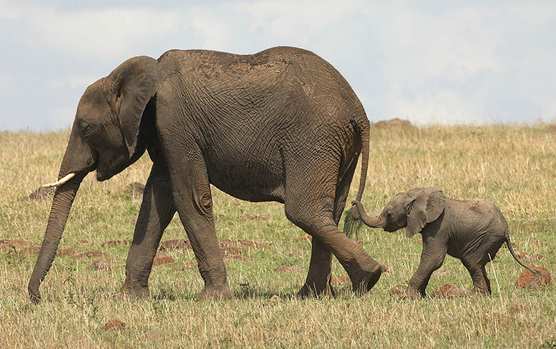 cute baby elephant 2 The 35 Cutest Baby Elephants You Will See Today
