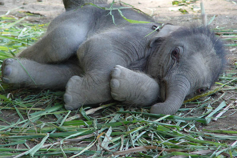 cute baby elephant 3 The 35 Cutest Baby Elephants You Will See Today