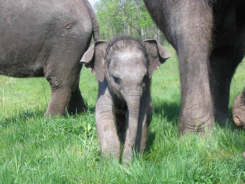 cute baby elephant 4 The 35 Cutest Baby Elephants You Will See Today