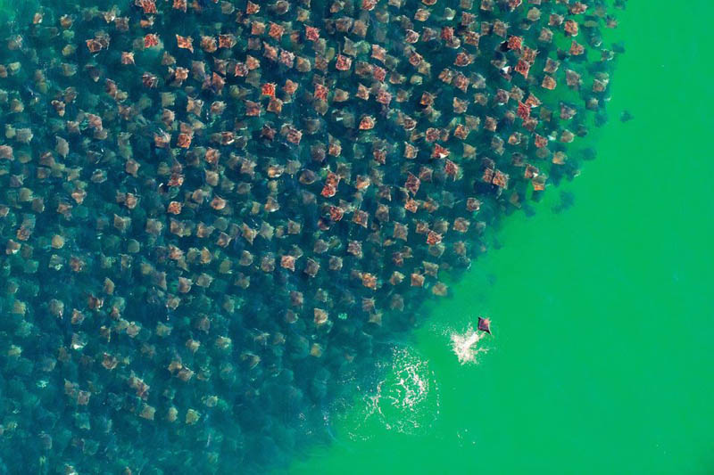 flight of the devil rays huge school group aerial from above The Top 75 Pictures of the Day for 2012