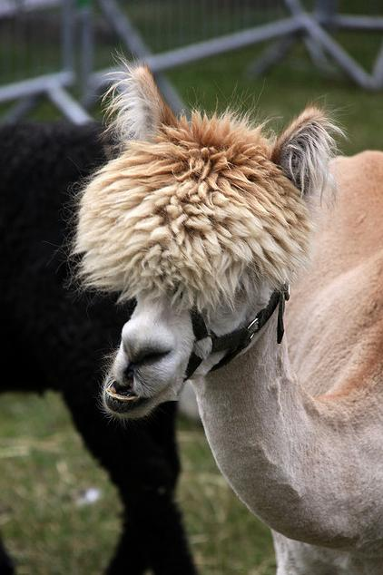 25 Alpacas with the Most Amazing Hair Ever