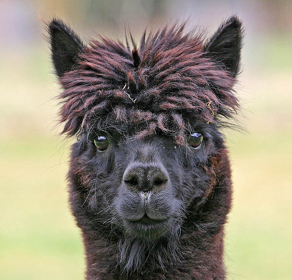 funny alpacas with awesome amazing hilarious hair 10 25 Alpacas with the Most Amazing Hair Ever