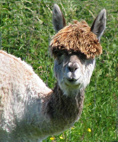 funny alpacas with awesome amazing hilarious hair 11 25 Alpacas with the Most Amazing Hair Ever