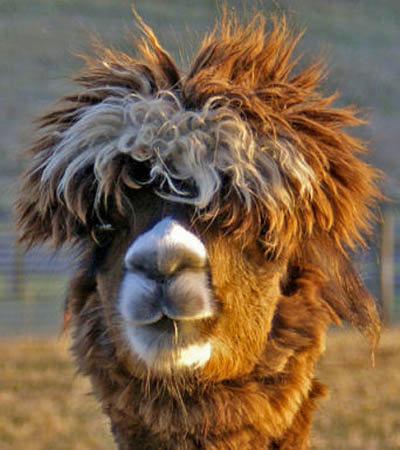 funny alpacas with awesome amazing hilarious hair 13 25 Alpacas with the Most Amazing Hair Ever