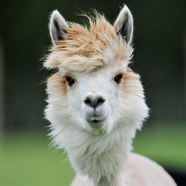 funny alpacas with awesome amazing hilarious hair 14 25 Alpacas with the Most Amazing Hair Ever