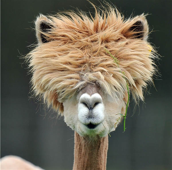 funny alpacas with awesome amazing hilarious hair 15 The 15 Greatest Animal Photobombs of All Time