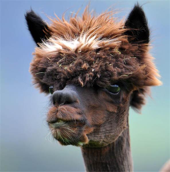 Llamas With Afros 25 Alpacas with the Mo...