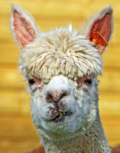 funny alpacas with awesome amazing hilarious hair 19 25 Alpacas with the Most Amazing Hair Ever