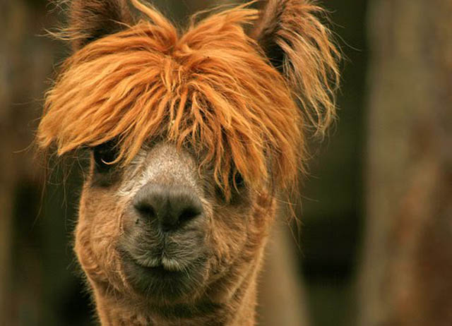 funny alpacas with awesome amazing hilarious hair 2 25 Alpacas with the Most Amazing Hair Ever