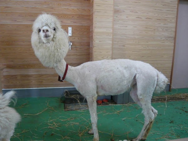 funny alpacas with awesome amazing hilarious hair 20 25 Alpacas with the Most Amazing Hair Ever