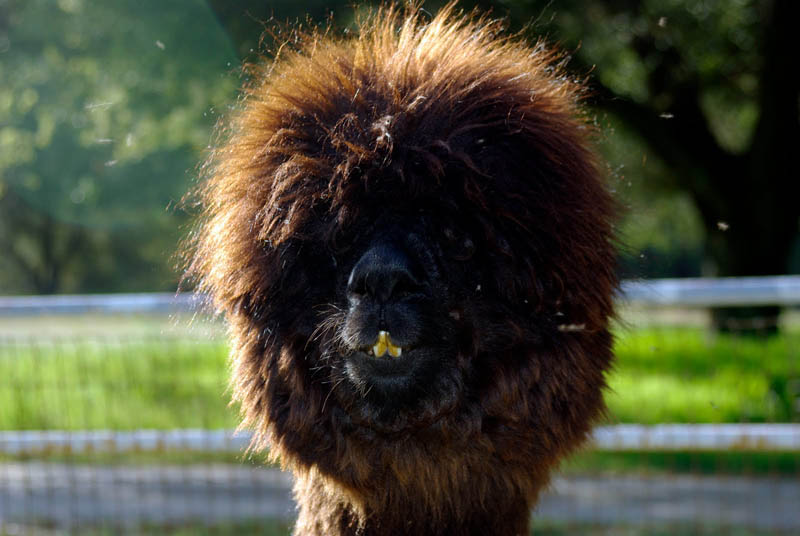 funny alpacas with awesome amazing hilarious hair 21 25 Alpacas with the Most Amazing Hair Ever