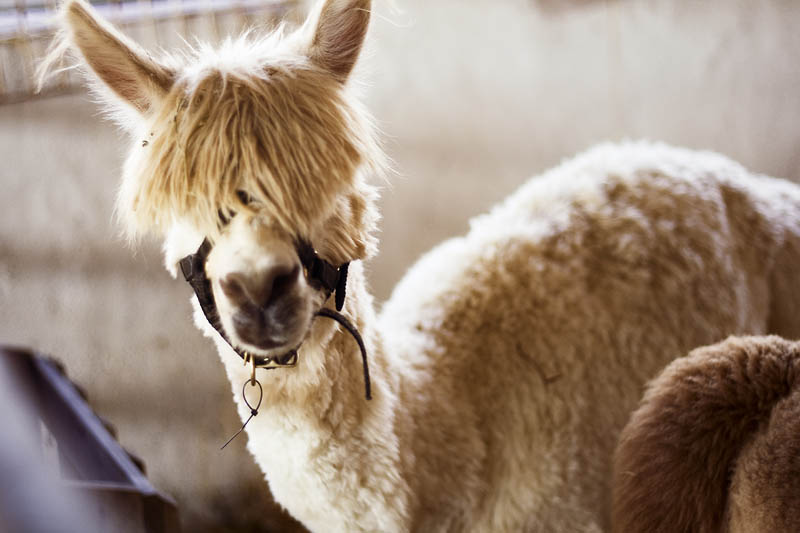 funny alpacas with awesome amazing hilarious hair 22 25 Alpacas with the Most Amazing Hair Ever