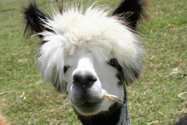 Die lustigen Frisuren von Alpakas