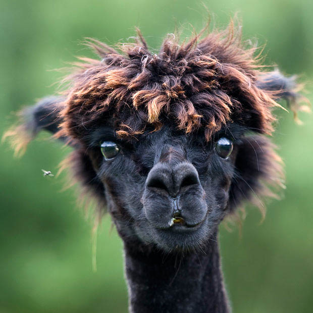 funny alpacas with awesome amazing hilarious hair 5 25 Alpacas with the Most Amazing Hair Ever