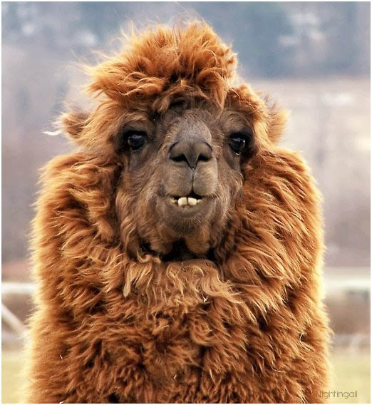 funny alpacas with awesome amazing hilarious hair 6 25 Alpacas with the Most Amazing Hair Ever