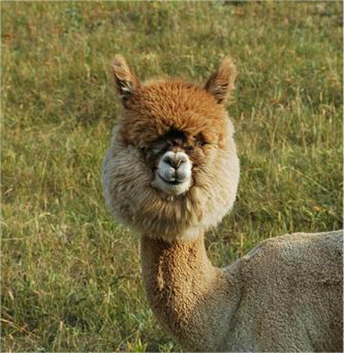 funny alpacas with awesome amazing hilarious hair 7 25 Alpacas with the Most Amazing Hair Ever