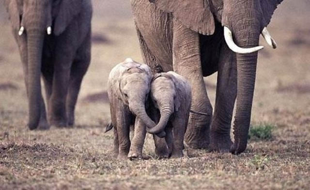funny baby elephant 1 The 35 Cutest Baby Elephants You Will See Today