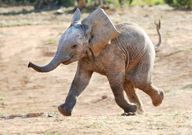 funny baby elephant 3 The 35 Cutest Baby Elephants You Will See Today