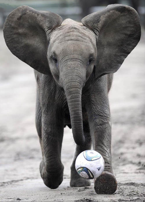 funny baby elephant 4 The 35 Cutest Baby Elephants You Will See Today