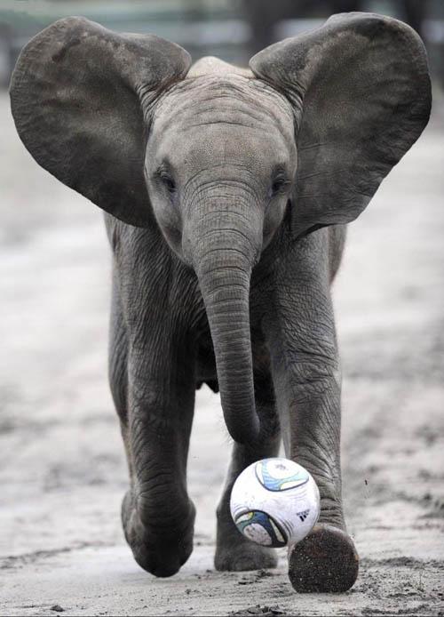 cute baby elephant - photo #25