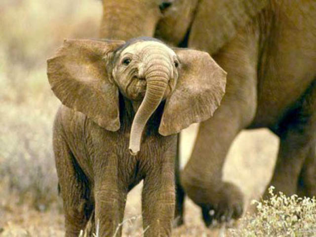 funny baby elephant 6 The 35 Cutest Baby Elephants You Will See Today
