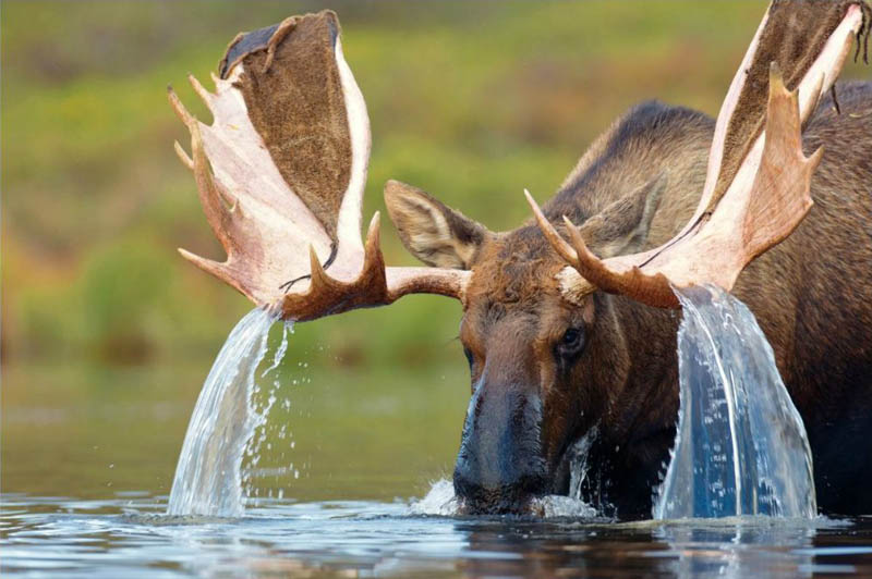 Picture of the Day: Water Cascading from a Moose's Antlers