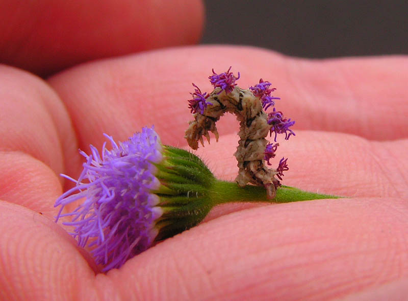 Crafty Caterpillar Puts Flowers on Back forCamouflage
