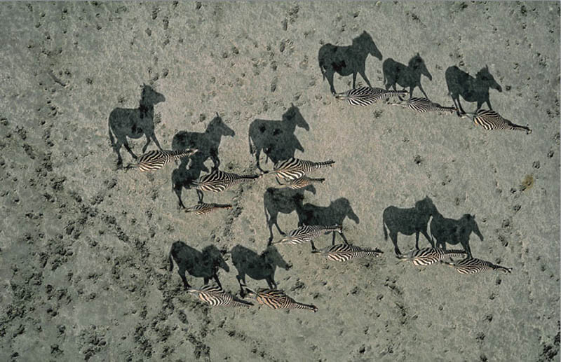 zebra shadows aerial from above national geographic 12 Optical Illusions Made from Shadows