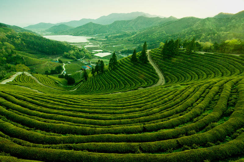 Picture of the Day: The Tea Fields of Boseong, Korea ...