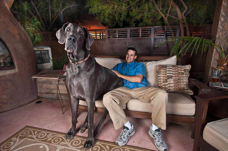 giant george the tallest dog in the world sitting beside owner on couch