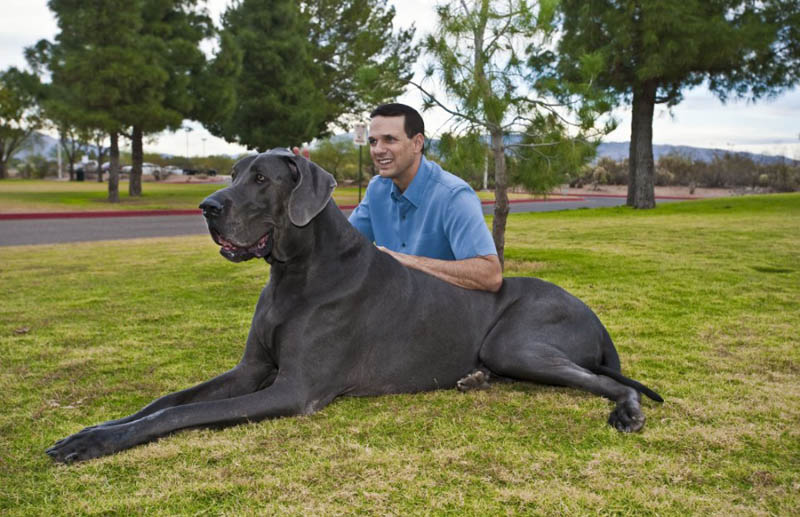 giant george the tallest dog in the world 4 Giant George   The Tallest Dog in the World