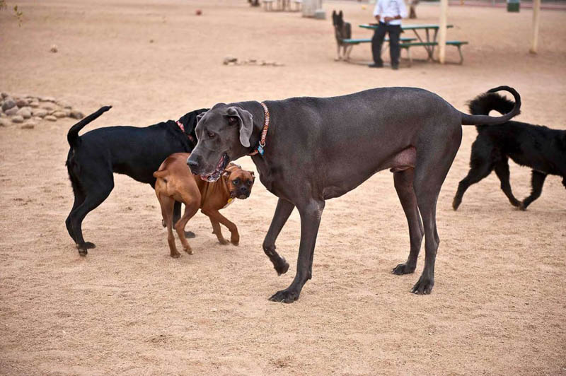 tallest dog in the world beside other dogs at the park