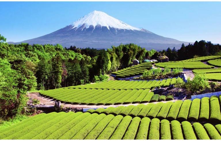 rolling fields of a japanese tea field near mount fuji in shizuoka japan