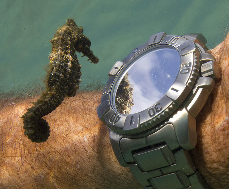seahorse checks out divers watch and own reflection underwater