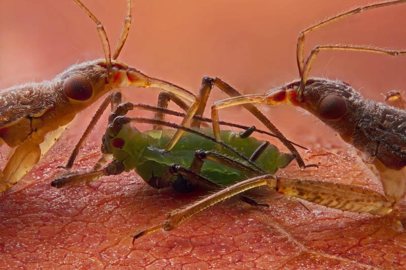 Two damsel bugs (Nabis sp)