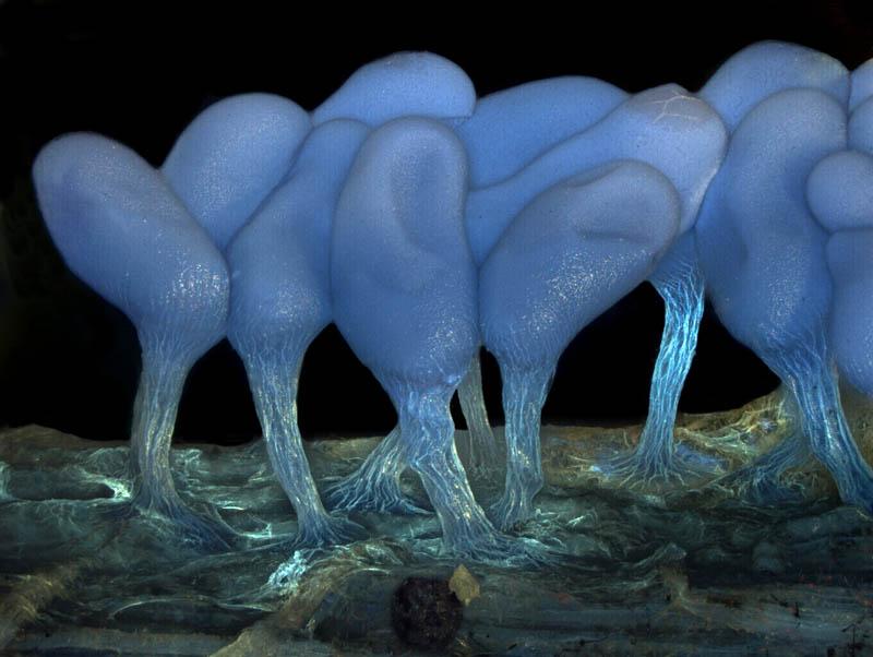 Young sporangia of slime mold Arcyria stipata