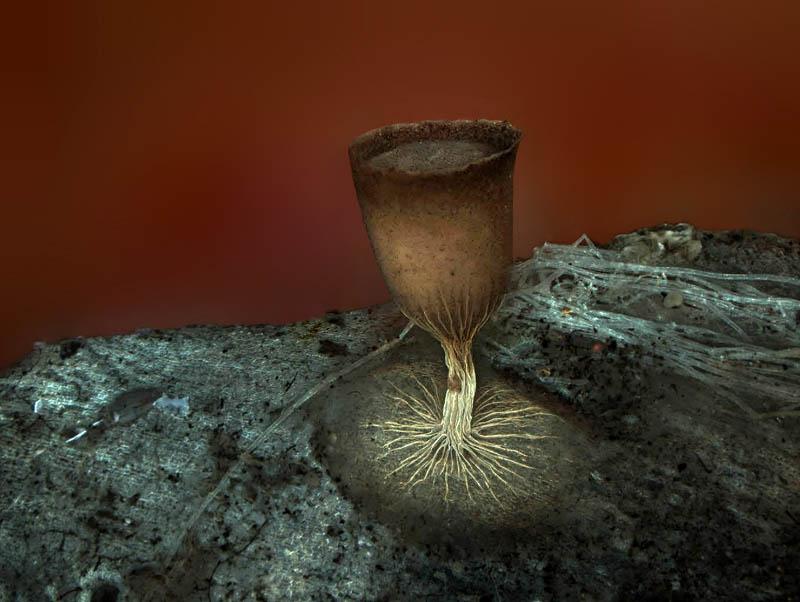 Sporangium of the slime mold Craterium minutum