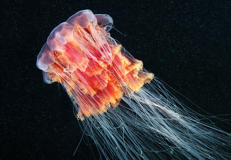 Aninimal Book: Picture of the Day: The Lion's Mane Jellyfish «TwistedSifter