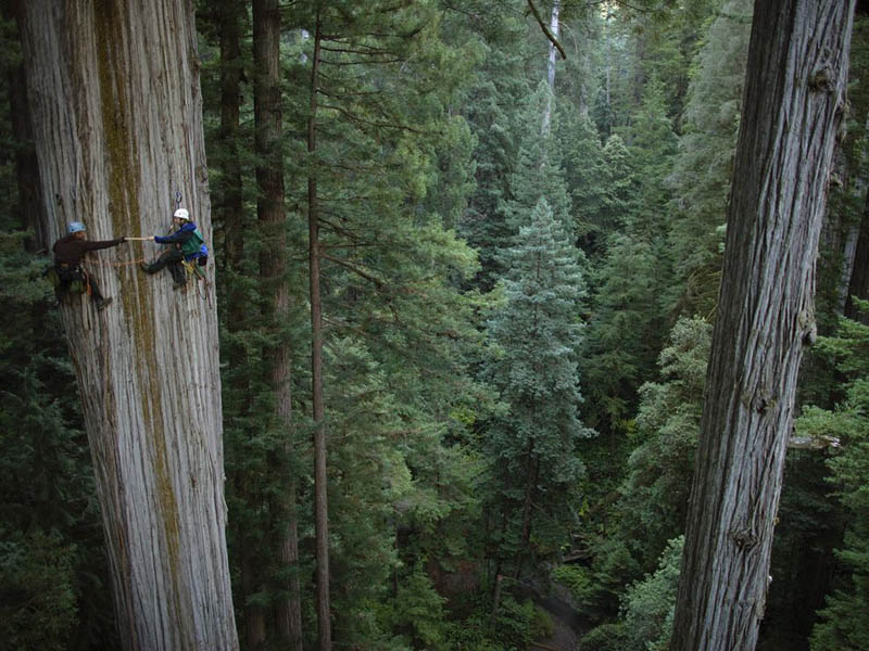 Picture of the Day: Scaling the Mighty Redwood