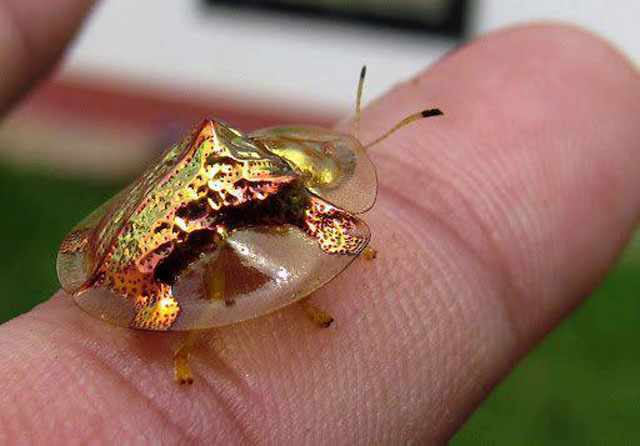 golden tortoise beetle mating 2 The Beautiful Golden Tortoise Beetle [12 pics]