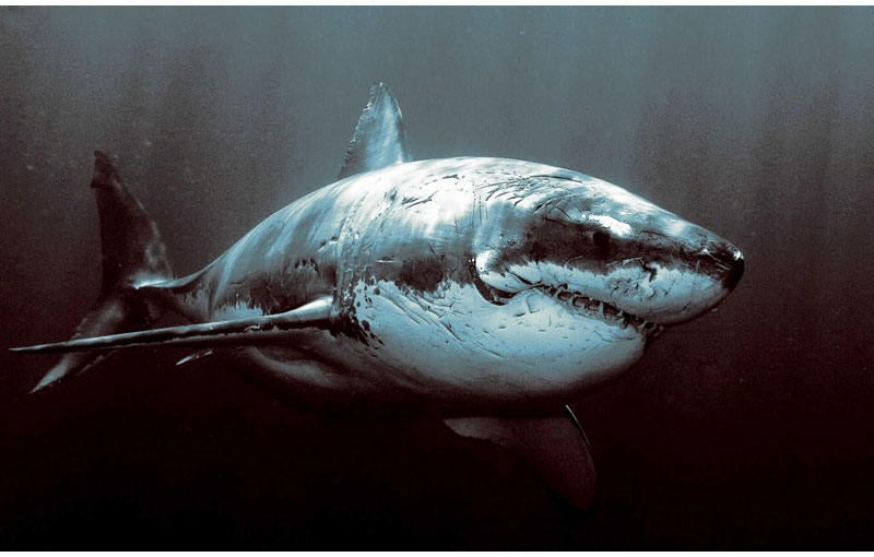 Picture of the Day: The Mighty Great WhiteShark