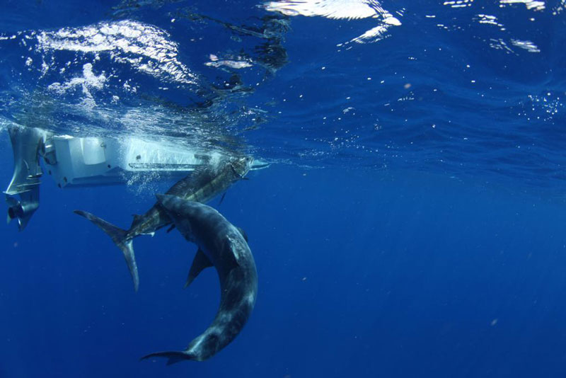 underwater photos of mako shark attacking marlin 3 The Fish With the Transparent Head