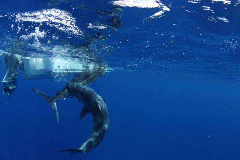 underwater photos of mako shark attacking marlin 3 How Diving Seabirds Hunt Fish