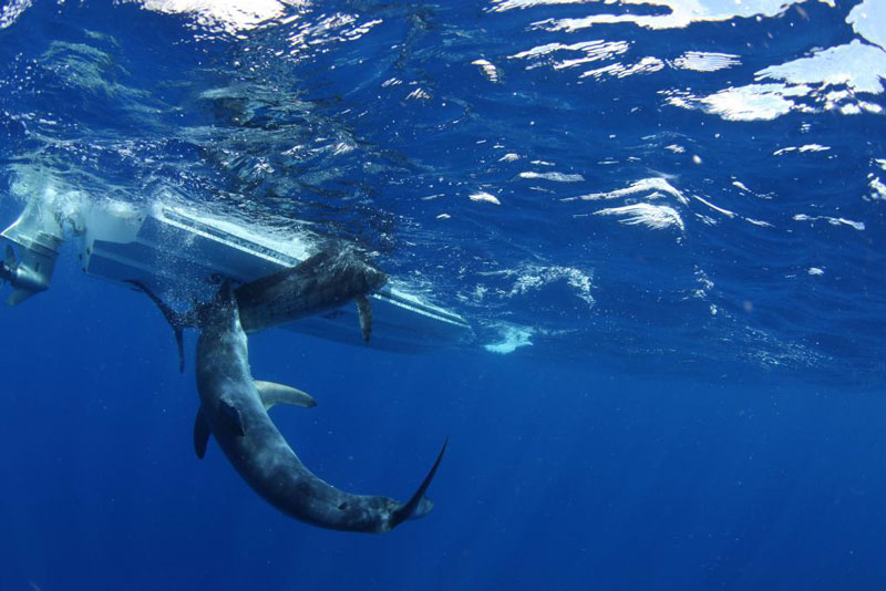 underwater photos of mako shark attacking marlin 4 Rare Underwater Photos of a Shark Attacking a Marlin